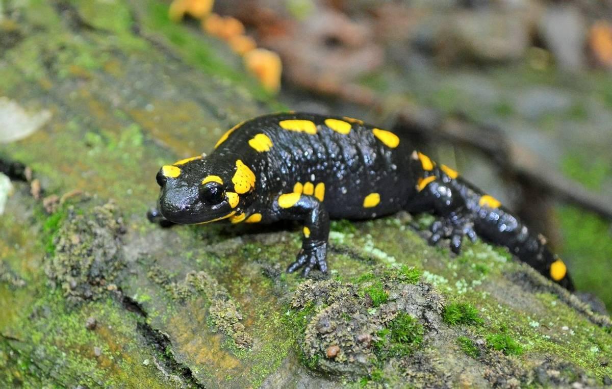 Fire Salamander, Gerard Gorman