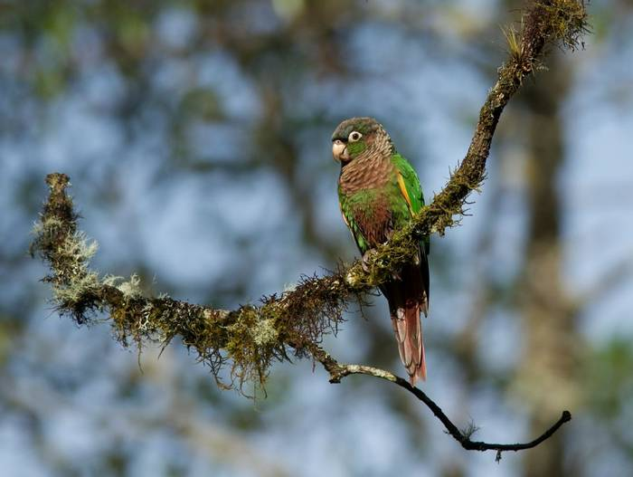 Colombia. Flame-winged Parakeet. Shutterstock..jpg