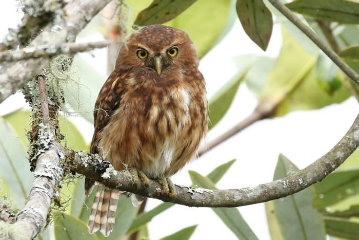 Andean Pygmy-owl (Rob Smith).JPG