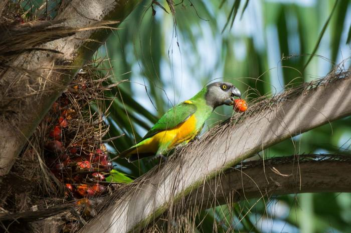 A Senegalese Parrot eating fruit from a palm tree