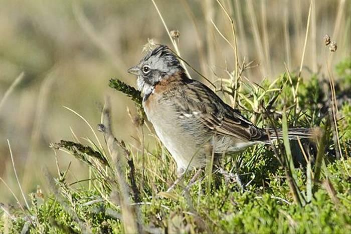 Rufous-collared Sparrow (Ian Bruce)