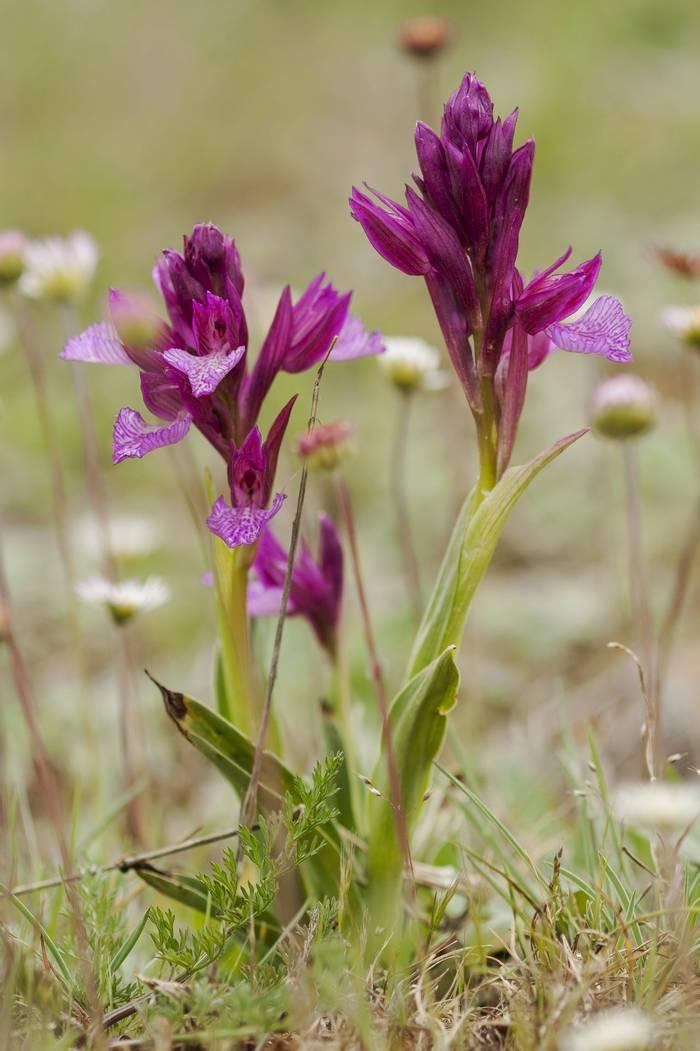 Butterfly Orchid shutterstock_274266620.jpg