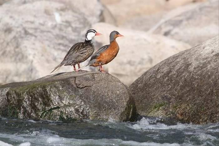 Torrent Ducks (Roger Wasley)
