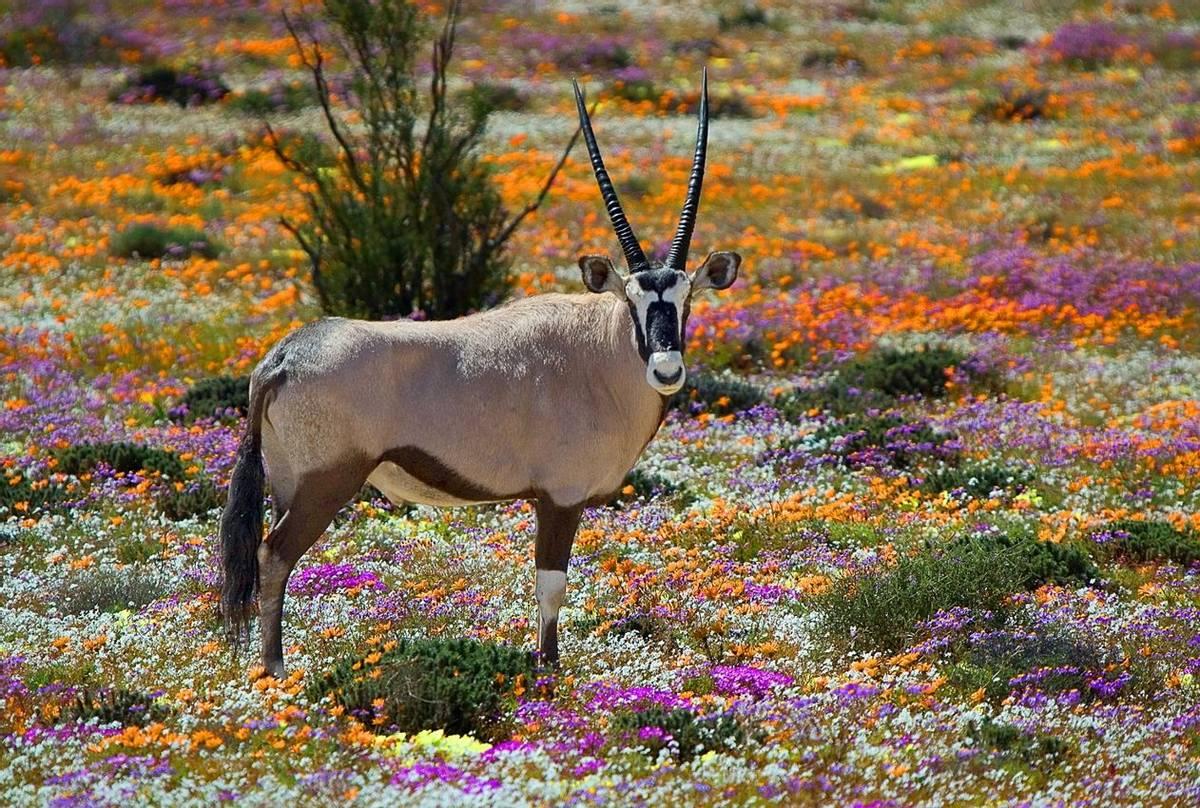 Gemsbok, Namaqualand, South Africa Shutterstock 96690244