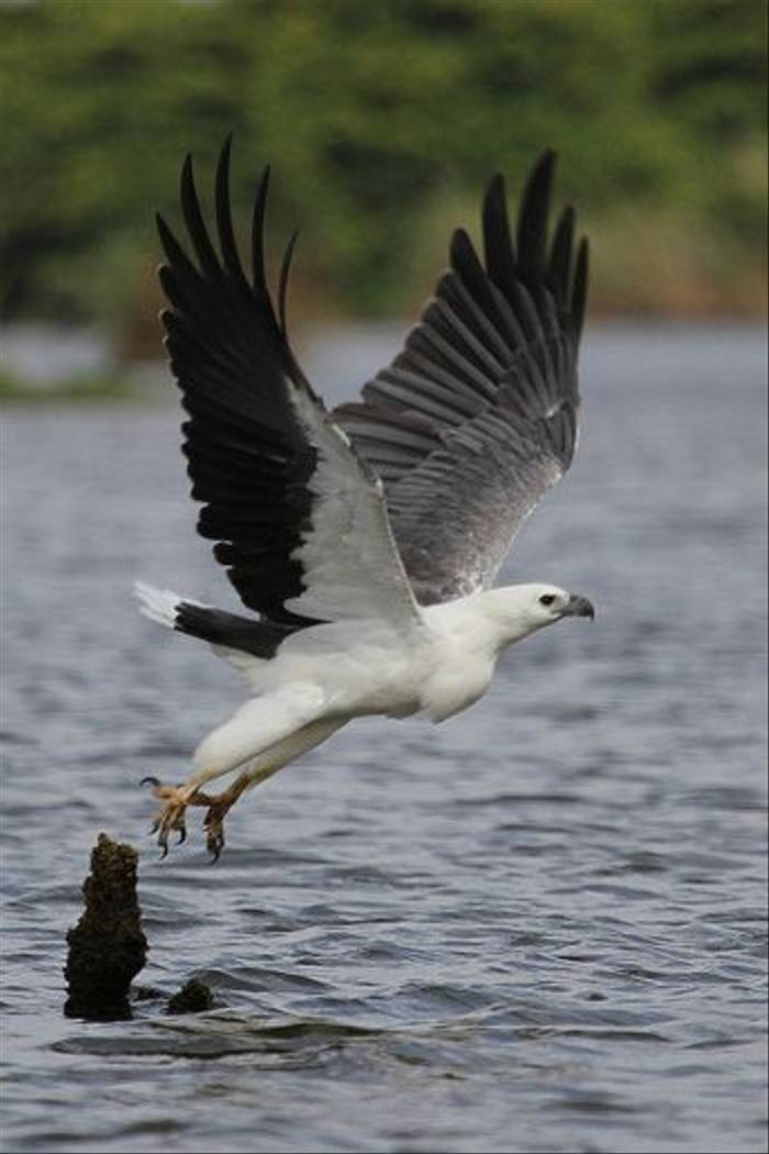 White-bellied Fish-eagle
