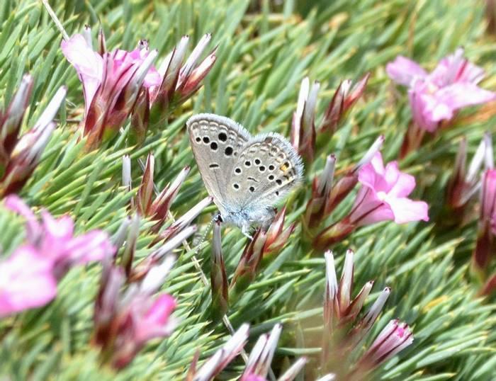 Oddspot Blue.1802 Fem Mt Chelmos