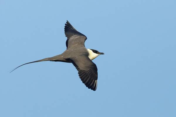 Long-tailed Skua shutterstock_1320158654.jpg