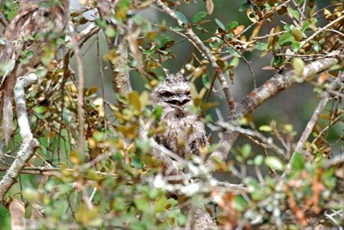 Tawny Frogmouth (Andrew Rest)