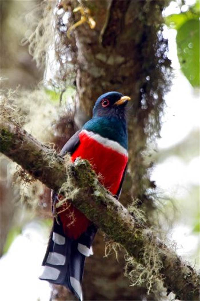 Masked Trogon (Mike and Karen Galtry)