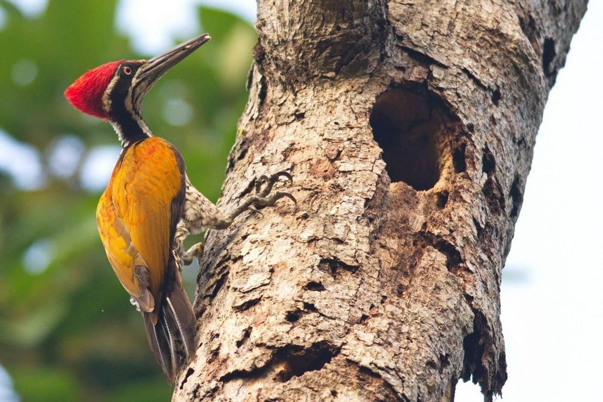 Greater Flameback Woodpecker Shutterstock 639431860