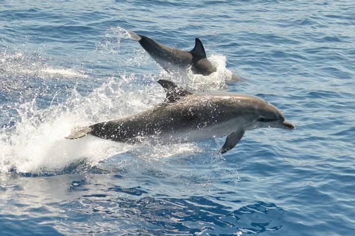 Atlantic Spotted Dolphins shutterstock_463179548.jpg