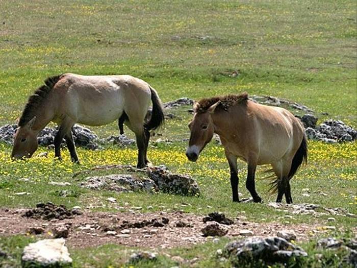 Przewalski Horses (Peter Dunn)