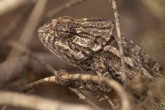 mediterranean chameleon.jpg