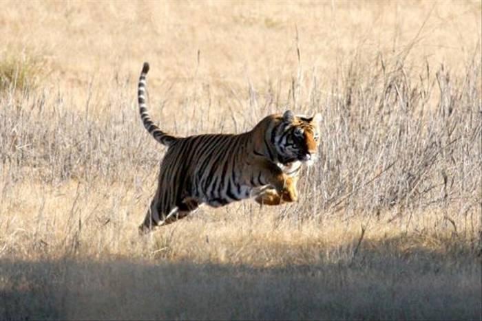 Tiger, Kanha