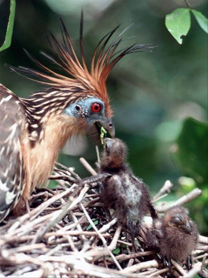 Hoatzin and chick