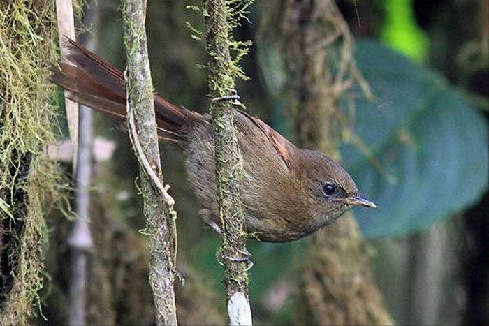 Rufous Spinetail (Robert Davidson)