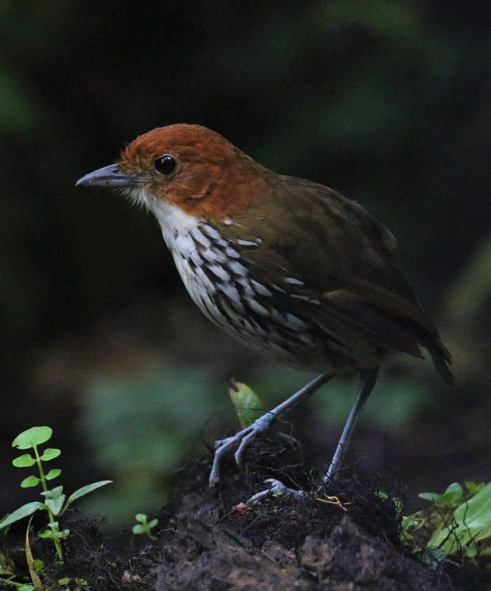 Chestnut Crowned Antpitta (Robin Smith)