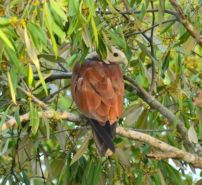 Brahminy Kite (Pradeep Singh, Sunderban Extension)