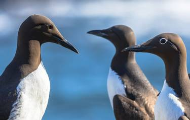 Heads of Common guillemot (Uria aalge) sitting on a rock against blue background of the North Sea near Scotland. Both bridle…