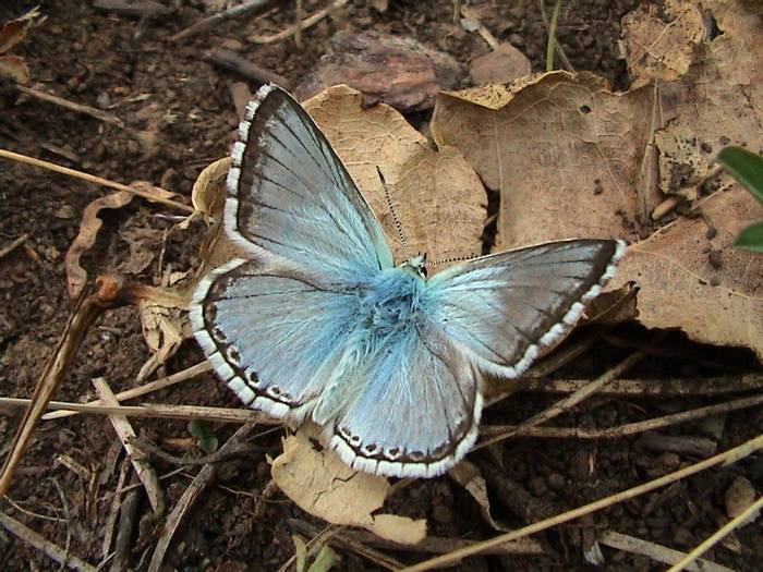 Chalckhill blue (Gerald Broddelez)