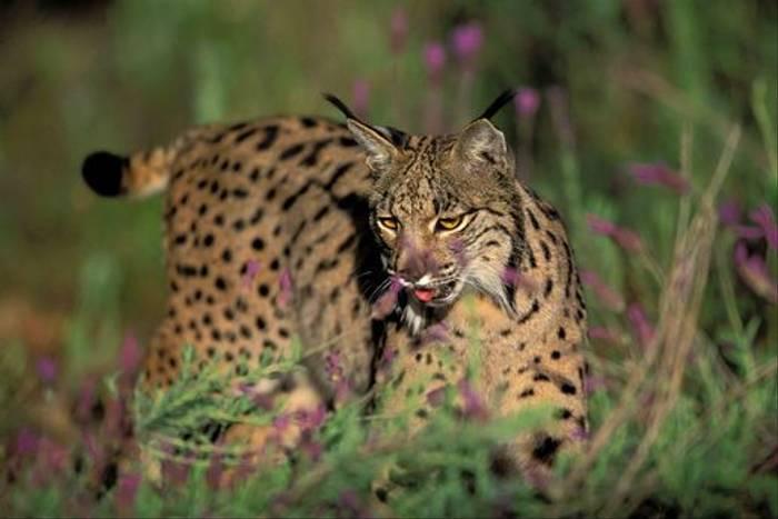 Iberian Lynx by Herminio Muniz