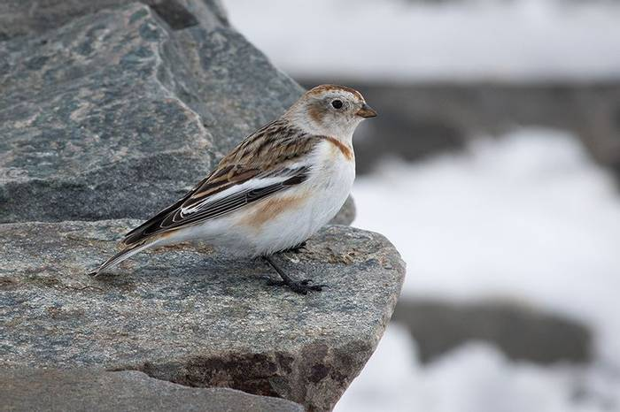 Snow bunting (Robert Harvey)