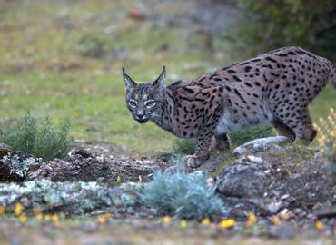 Spain - Realm of the Iberian Lynx