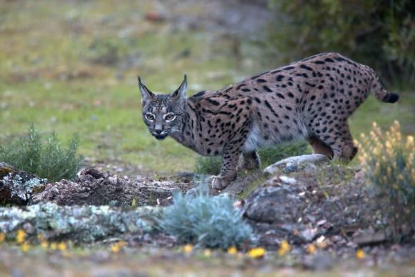Iberian Lynx Shutterstock 1108571063