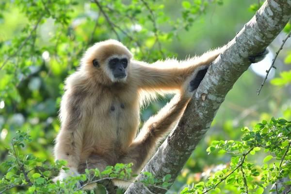 White-handed Gibbon shutterstock_1802859715.jpg