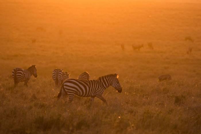 Plains Zebras (John Haskew).jpg