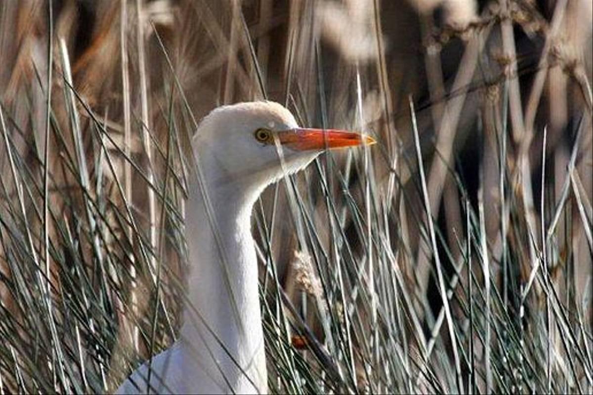 Cattle Egret (Don Farlow)