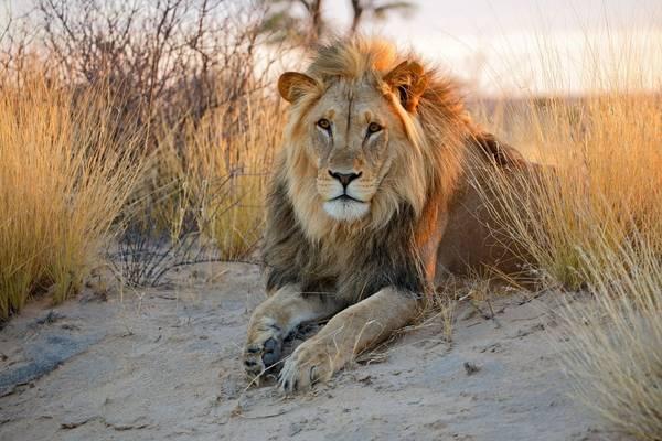 Lion, Kalahari, Botswana Shutterstock 284892797