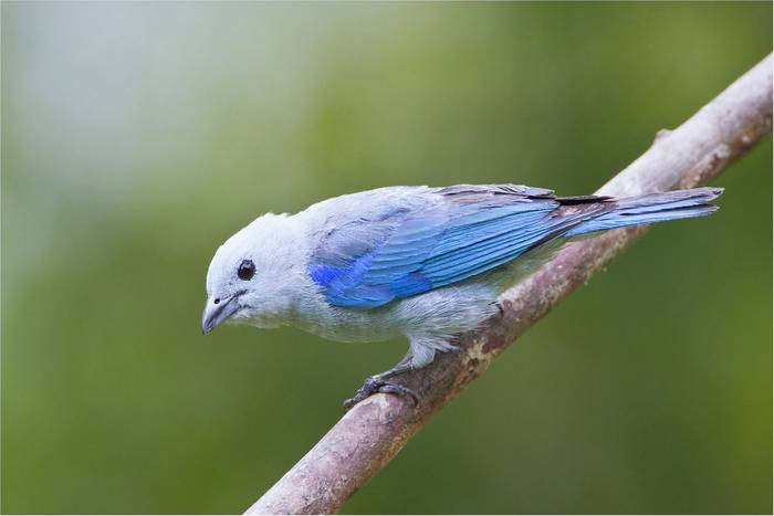 Blue-gray Tanager (Kevin Elsby)