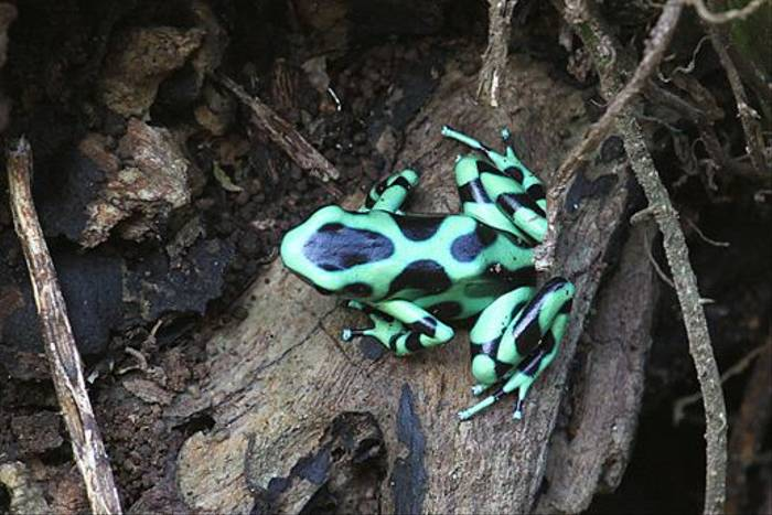 Green & Black Poisoin Dart Frog, Costa Rica (Reagan Smith)