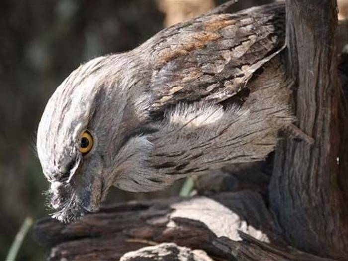 Tawny Frogmouth (Susan Jenkins)