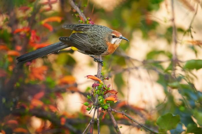 Gurney's Sugarbird, South Africa shutterstock_705721879.jpg