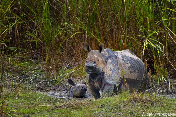 Greater One Horned Rhino, Dhiphlu River Lodge.png