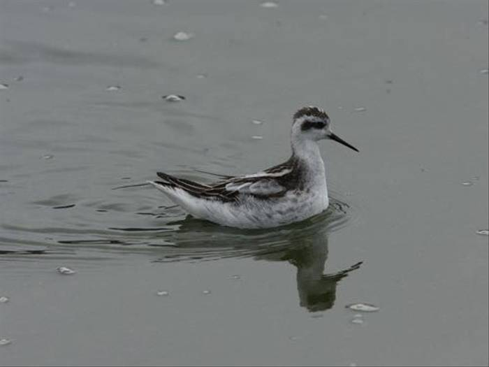 Red-necked Phalarope (Peter Dunn)