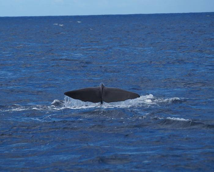 Sperm Whale fluke (Ed Drewitt).jpeg