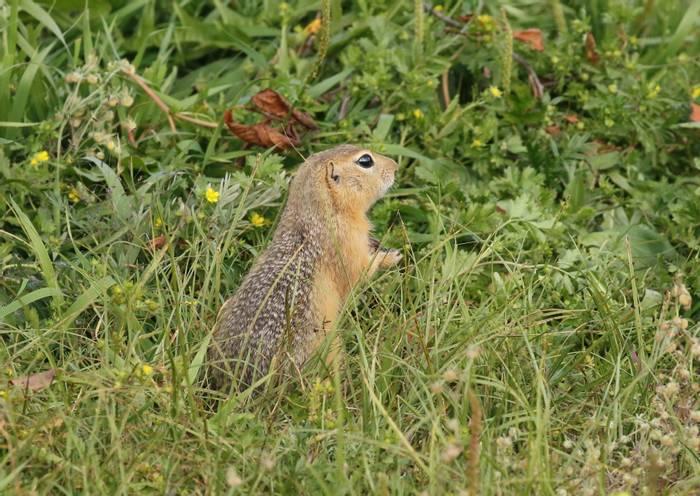 Long-tailed Ground Squirrel (Adam Dudley).jpg