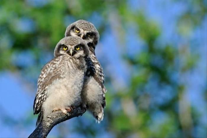 Hawk Owl (Jari Peltomaki)