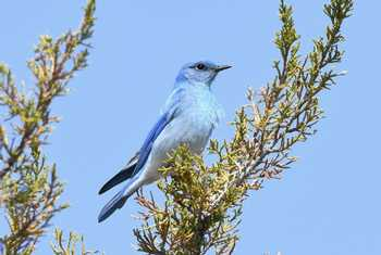 Mountain Bluebird 2.jpg