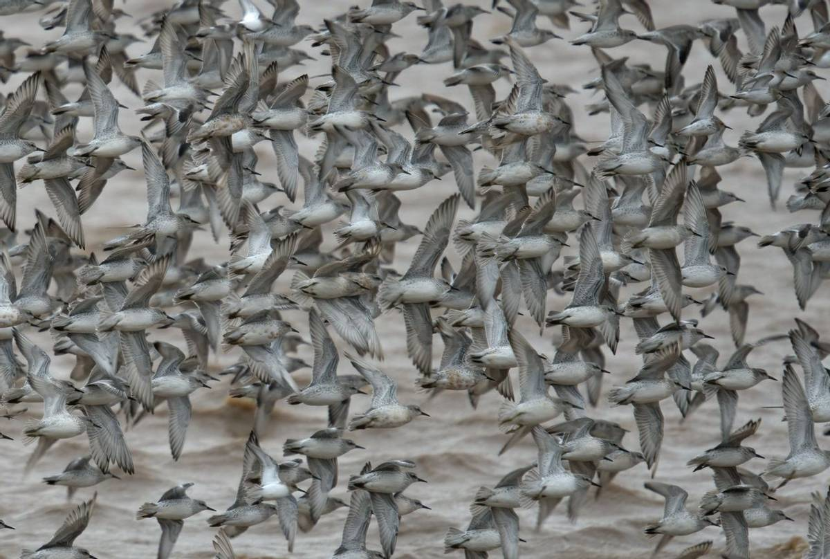 Knot and Dunlin (Tim Melling)