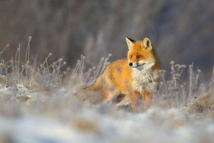 European Fox, Poland Shutterstock 623473763
