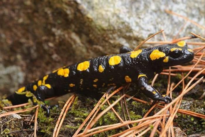 Corsican Fire Salamander (David Morris)