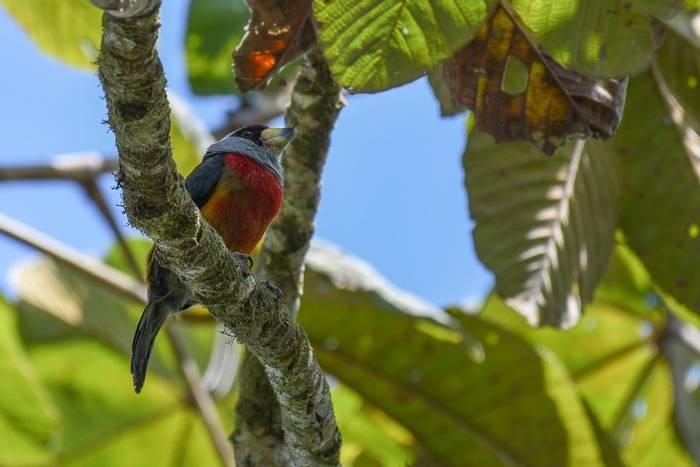 Toucan Barbet (Juan Palmero)