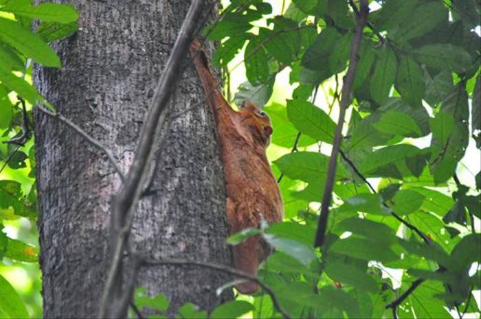 Colugo (Derek Brown)