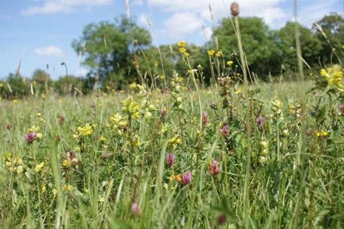 Yellow Rattle meadow (Ed Drewitt)