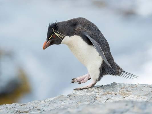 Southern Rockhopper Penguin, Falklands Islands, shutterstock_1832900005.jpg