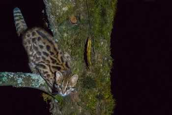 Chinese Leopard Cat (Tim Melling)